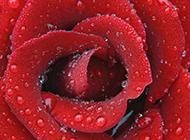 唯美水滴玫瑰花背景特写图片