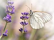 紫色薰衣草上的蝴蝶图片