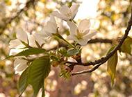 淡雅的白色梨花图片