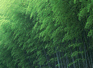 春天的绿色竹子护眼图片