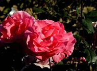 粉红色月季花图片欣赏