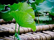 夏天荷塘绿色荷叶植物图片