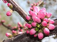 春天含苞待放的桃花图片