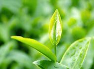 春天的绿色茶叶图片素材