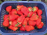 一篮子新鲜的红草莓图片