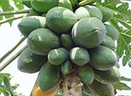 树上的青木瓜实拍图片