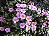 路边的淡紫色野花图片