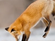 雪狐狸图片 狐狸图片