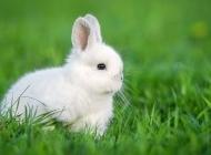 小白犬图片 可爱的小白兔图片