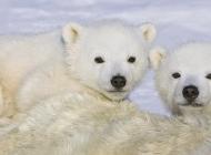 萌北极熊图片 北极熊图片