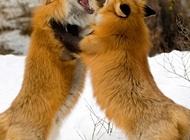 蓝狐狸图片 妩媚狐狸图片