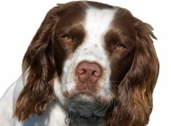 英国跳猎犬图片 英国跳猎犬图片