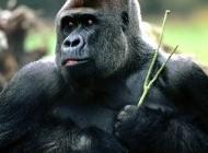 母猩猩图片 猩猩图片