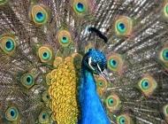蓝孔雀图片 孔雀开屏特写图片