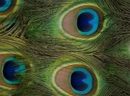 黑孔雀图片 绝美孔雀羽毛图片