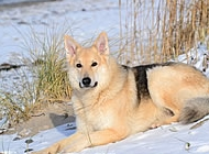 雪橇犬图片 雪橇狗图片
