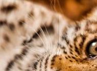 花豹图片 矫健的花豹高清动物图片