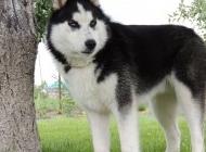 小雪橇犬图片 西伯利亚雪橇犬图片