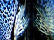 公孔雀和母孔雀图片 孔雀鱼图片