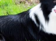 小边境牧羊犬图片 边境牧羊犬图片