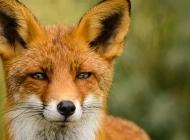 老狐狸和小狐狸图片 狐狸特写图片