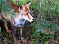 老狐狸图片 狐狸高清壁纸图片