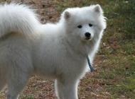 小萨摩犬图片 可爱的萨摩耶犬图片