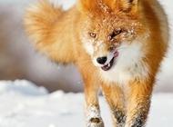 银狐狸图片 高清狐狸壁纸图片