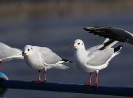 海鸥图片 文静的海鸥图片