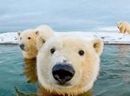 北极熊图片 憨态可掬的北极熊图片