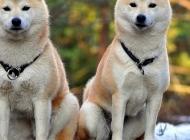 小秋田犬图片 暖萌的秋田犬图片