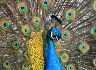 开屏的孔雀图片 孔雀开屏特写图片
