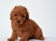 棕泰迪犬图片 泰迪熊犬图片