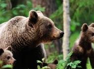 棕熊犬图片 森林中的棕熊图片