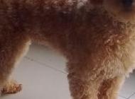 棕贵宾犬图片 贵宾狗图片