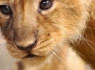 老狮子和小狮子图片    可爱的小狮子超清素材图片