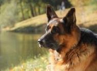 正宗的德国牧羊犬图片 高颜值德国牧羊犬高清图片大全