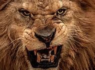 最凶猛的狮子图片 凶猛野生狮子图片精选