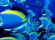 美丽的紫孔雀图片大全 美丽的热带鱼图片大全