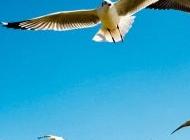 阳光海鸥图片大全 自由翱翔的海鸥动物图片大全