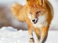 黑狐狸图片 狡猾的狐狸高清动物图片