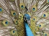 公孔雀和母孔雀图片 美丽的孔雀开屏图片