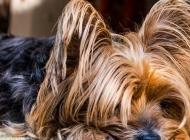 约克犬图片 拥有华丽长毛的约克夏梗犬图片