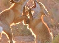 老狐狸和小狐狸图片 高清赤狐狸摄影图片欣赏
