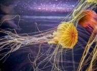 绚丽唯美的的水母图片