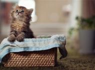 可爱的波斯猫高清图片