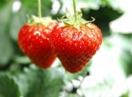 春季果实草莓
