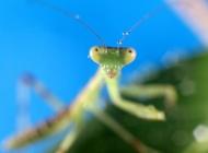 螳螂微距图片