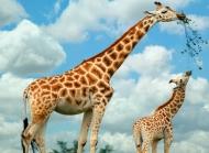 长颈鹿图片大全 长颈鹿图片