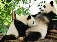 可爱熊猫图片大全 可爱的动物熊猫